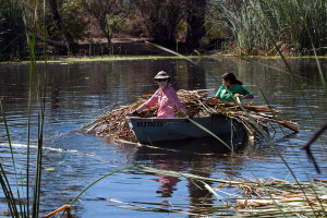 Carrying cut cattails back to the boat landing.