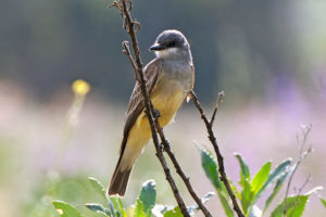 A Cassin's Kingbird waiting for the bird watching tour.