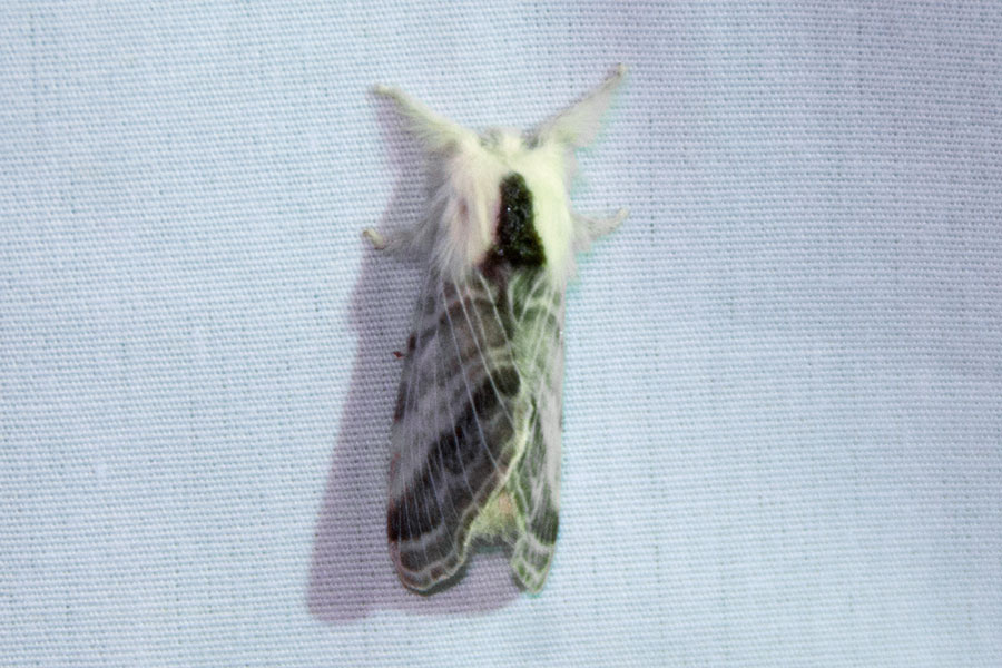 "A very ""furry"" moth (Tolype sp.)  collected at 'Insects of the Night' on the Night Tour for Families."