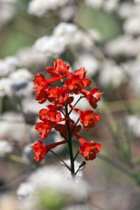 Flowers of Scarlet Larkspur (Delphinium cardinale) blooming among buckwheat in the Neck. Nancy Hamlett.