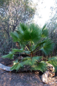 One of the Mexican Fan Palms that have popped up around the lake.